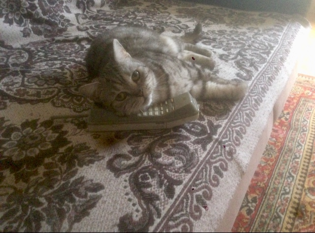 Алло Кот, Телефон, Фотография, Домашние животные