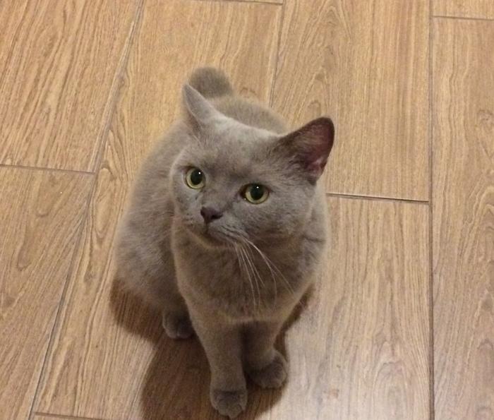 Моя любимая кошка Тото , взятая из приюта Кот, Приют, Британцы, Длиннопост