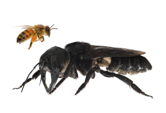 Ученые обнаружили гигантскую пчелу, которую считали вымершей Природа, Биология, Пчелы, Гигант, Видео