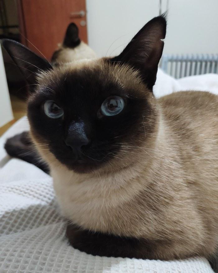 О, эти глаза! Тайская кошка, Кот