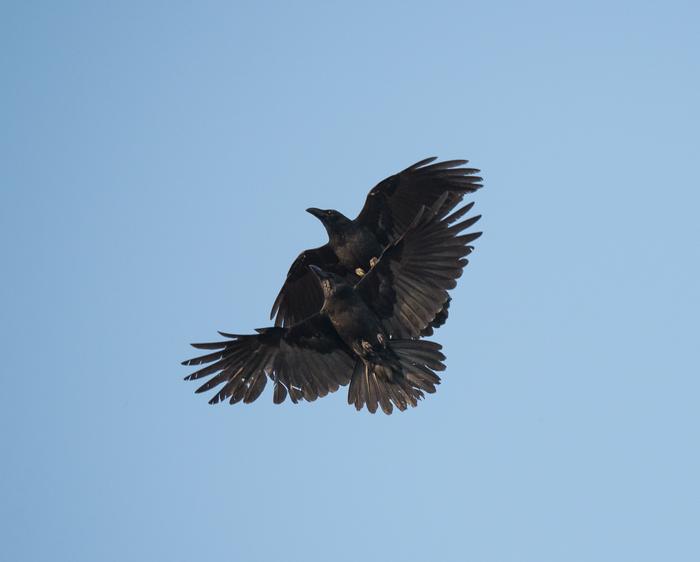 Вороны тоже так умеют. парные полеты. Ворона, Пилотаж, Птицы, Длиннопост