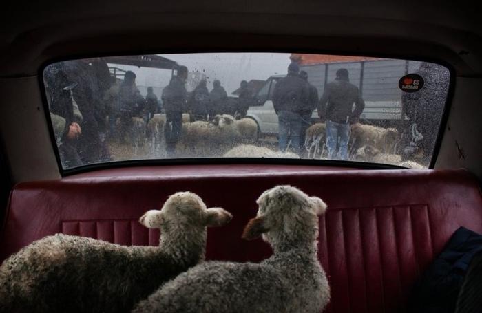 Абсолютно толерантен, поэтому просто овцы в машине