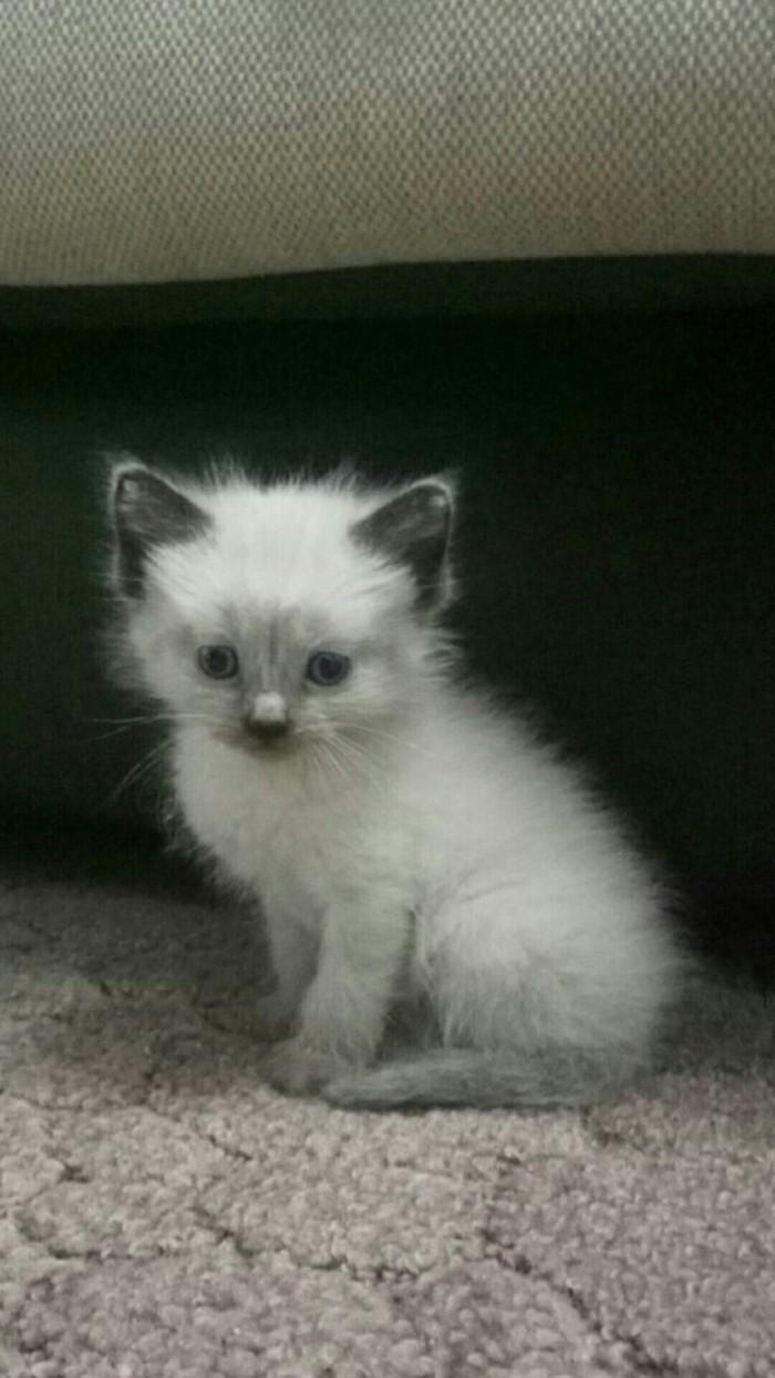 Было/стало или полтора года разницы Котенок Гав, Кот, Сиамский кот, Разница, Вырос, Повзрослел, Длиннопост, Домашние животные