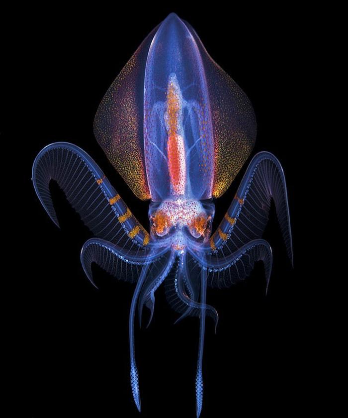 Бриллиантовый кальмар