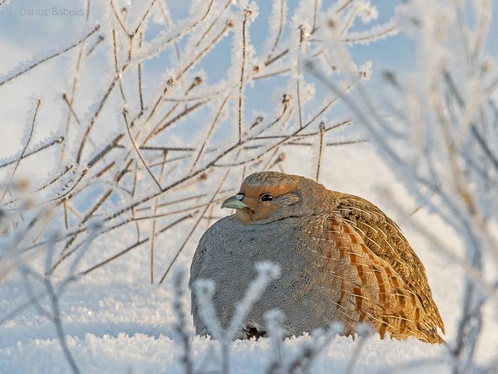 Когда зимовал у бабушки Куропатка, Фотография, Птицы фото, Пухленькая милота