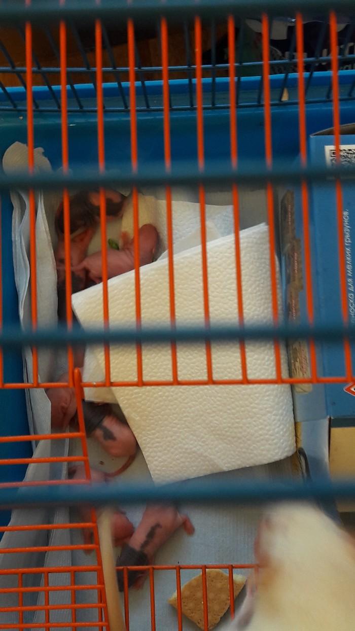 Скидка в зоомагазине))) Декоративные крысы, Крыса, Краснодар, Домашние животные, Скидки, Длиннопост