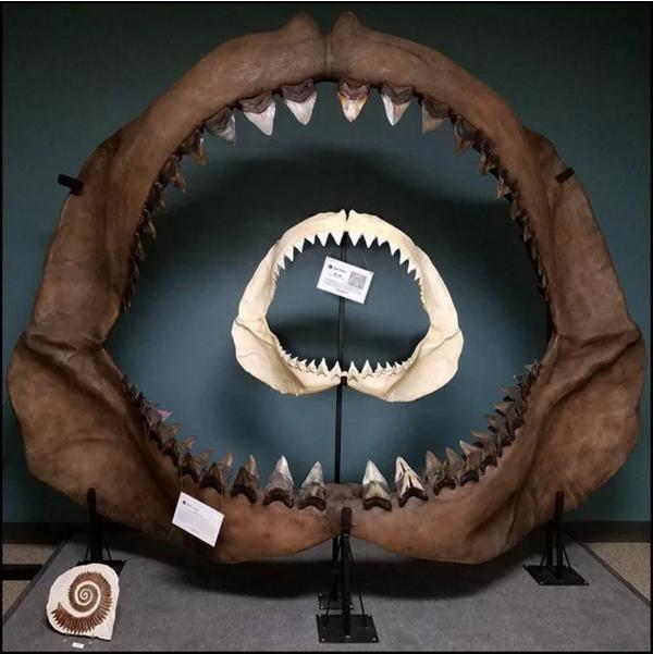 Современная Большая белая акула VS Мегалодон