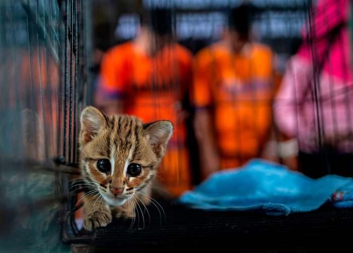 Котеночек Индонезия, Кот, Леопард, Животные