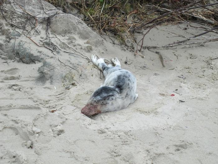 Не пытайтесь затащить тюленя в воду Видео, Тюлень, Калининград, Длиннопост, Пост 1 апреля 2019 г