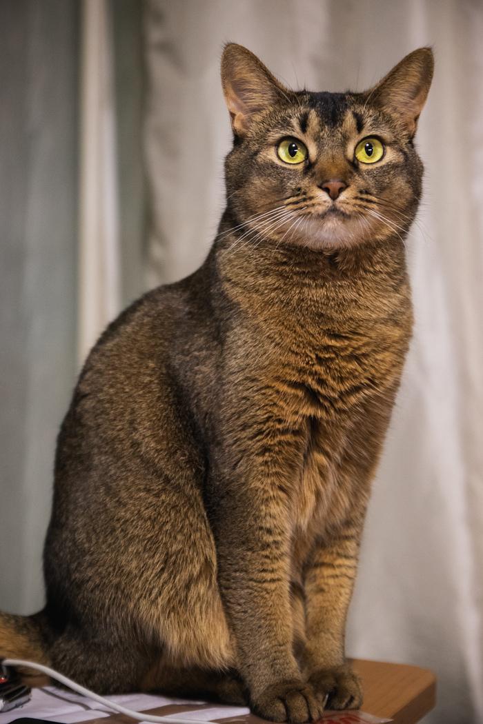 Кот без лампы Кот, Истории, Длиннопост, Домашние животные, Абиссинская кошка
