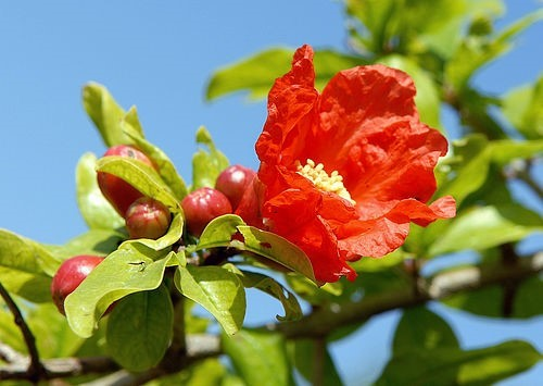 Цветок граната Гранат, Стихи