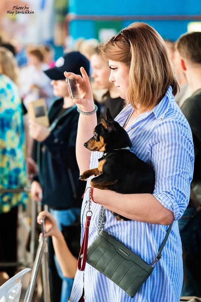 Очередная серия репортажных снимков с выставок собак, прошедших по Югу России в 2018 году, приятного просмотра))) Собака, Собаки и люди, Выставка, Выставка собак, Животные, Домашние животные, Анималистика, Фотография, Длиннопост