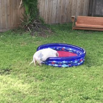 Даже у хрюнделя есть собственный бассейн