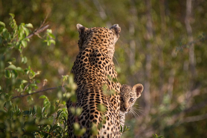 Котёнок леопарда с мамой. Кот, Мама, Фотография, Длиннопост, Леопард, Милота