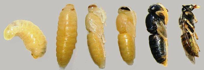 Метаморфоз у насекомых Биология, Энтомология, Насекомые, Длиннопост