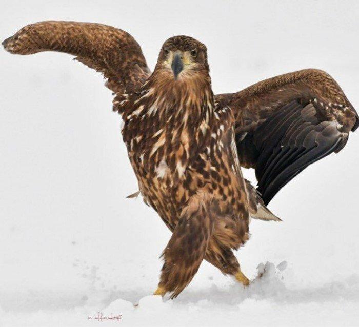 Орёл гордой походкой прошёлся по снегу и из-за этого стал главным героем битвы фотошоперов Орел, Photoshop, Прикол, Птицы, Длиннопост