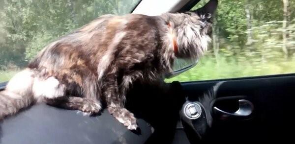 Поездка Мейн-куна в машине. Кот, Мейн-Кун, Йоркширский терьер, Машина, Отпуск, Длиннопост