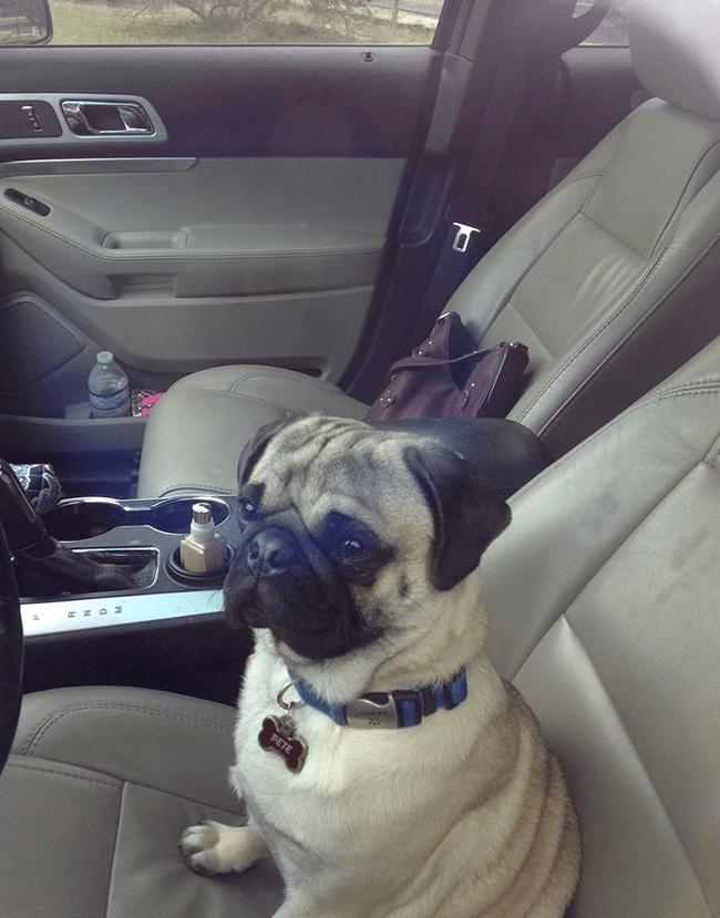 Мопс закрылся в машине и не пустил в неё хозяйку Собака, Животные, Мопс, Машина