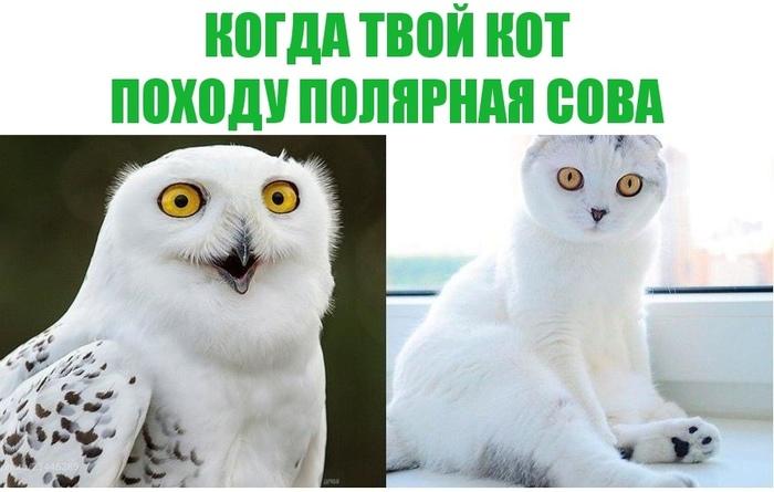 Загадочный Совокот! Кот, Котомафия, Полярная сова, Сова