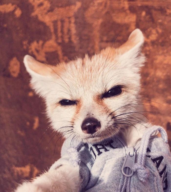 -С вами Джонни Фоксвил,и сегодня мы будем мышковать ^.^ Лиса, Фенек, Милота, Животные, Фотография
