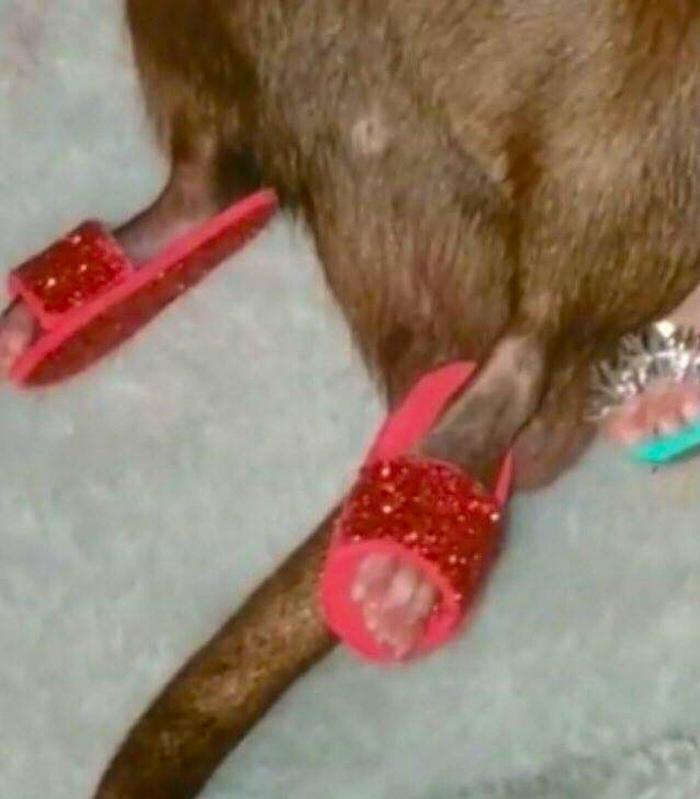 Внимание! Крысы в тапочках и с плюшевыми игрушками! Картинки, Юмор, Крыса, Тапочки, Длиннопост