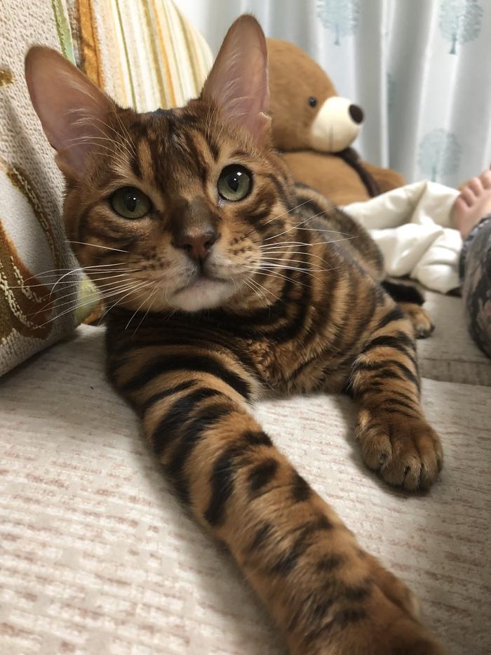 Бенгал, плюсы и минусы Кот, Бенгальская кошка, Длиннопост