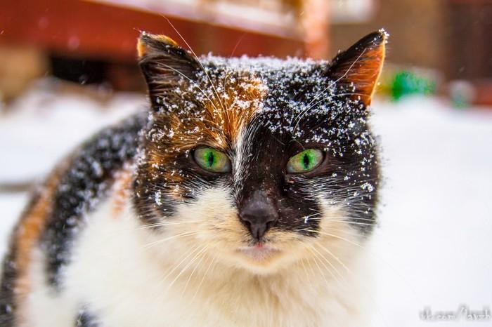 Снежный кот Кот, Зима