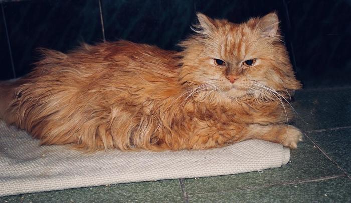 Порода - не гарантия дома. Кот, Персидский кот, Санкт-Петербург, Волонтеры, Помощь животным, Найден кот, Без рейтинга