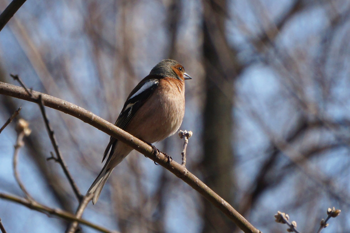 Городские птицы-3: весенняя фотоохота Природа, Птицы, Сибирь, Алтай, Фотоохота, Длиннопост