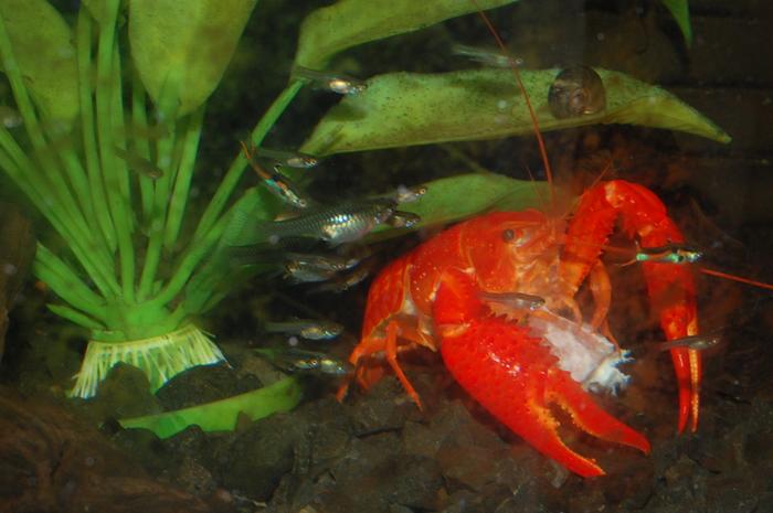 Про флоридских красных раков в моём аквариуме.. Рак, Длиннопост, Фотография