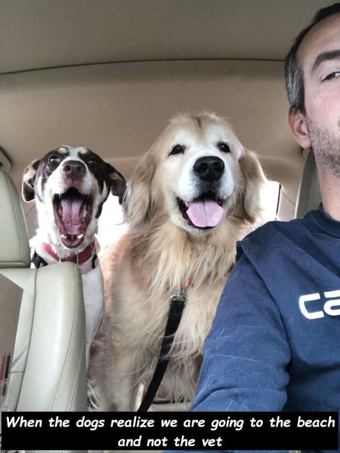 Когда собаки поняли, что мы едем на пляж, а не в ветклинику