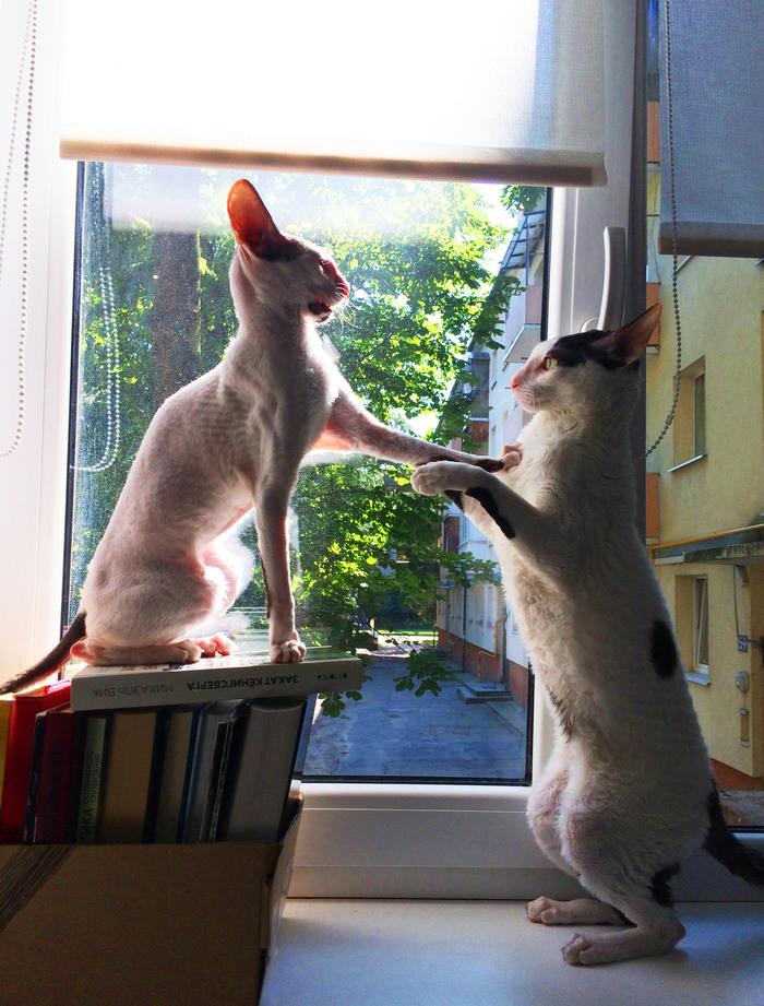Посвящение в коты Кот, Корниш-Рекс, Длиннопост