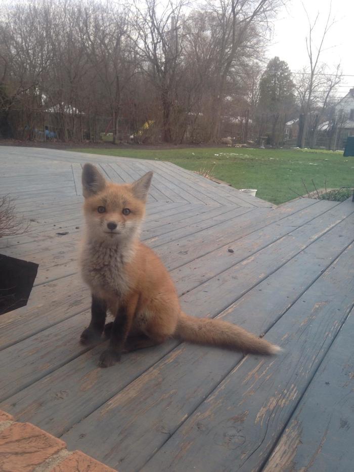 """""""Этот лисёнок живет на нашем заднем дворе. Мы называем его Джаспер"""""""