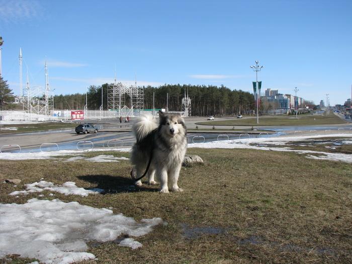 Маламут всегда снег найдет)) Собака, Аляскинский маламут, Длиннопост