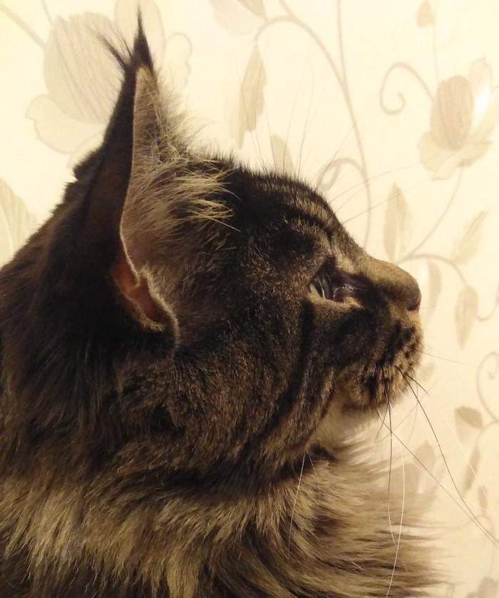 Мой котище Кот, Большие кошки, Мейн-Кун, Домашние животные, Длиннопост