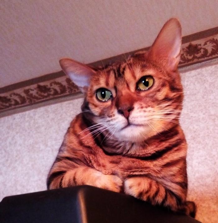 Когда гладишь чужого котика Бенгальская кошка, Котомафия, Печаль, Кот