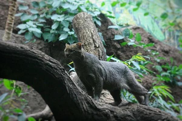 Ягуарунди – самая странная кошка на свете Ягуарунди, Животные, Хищник, Джунгли, Видео, Длиннопост, Яндекс Дзен