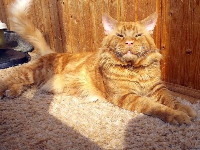Само Великолепие! Кот, Мейн-Кун, Домашние животные, Длиннопост, Фотография