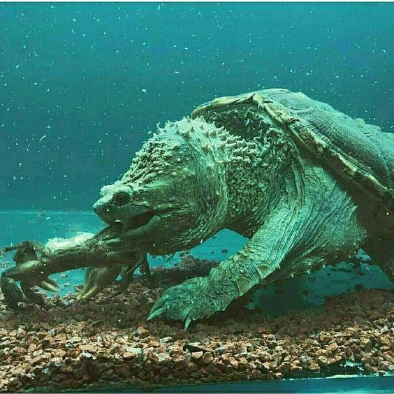 Грифовая черепаха Черепаха, Животные, Фотография, Длиннопост