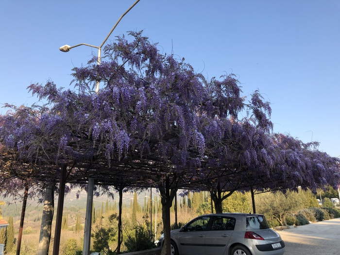 Глицинья Хорватия, Цветы, Красота природы, Природа, Глициния