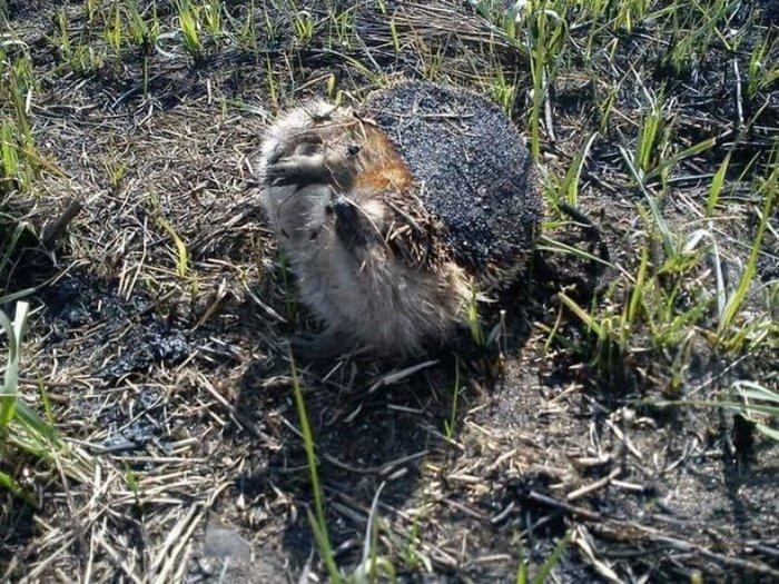 Поджоги сухой травы: кто, зачем и почему Палы травы, Поджоги травы, Пожарные, Лесные пожары, Сухостой, Гибель животных, Длиннопост