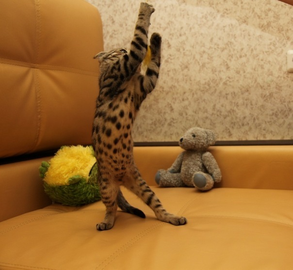 В не так далеком году 2010 решено было взять котика. Сфинкс, Петерболд, Кот, 4, Длиннопост