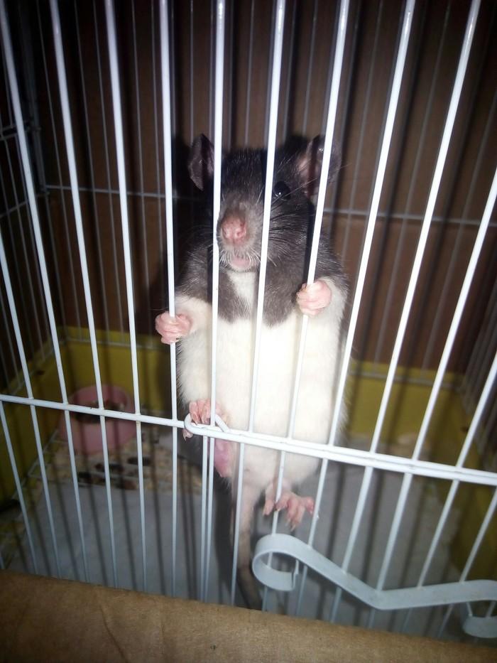 Гайка Декоративные крысы, Нужен совет, Крыса, Домашние животные