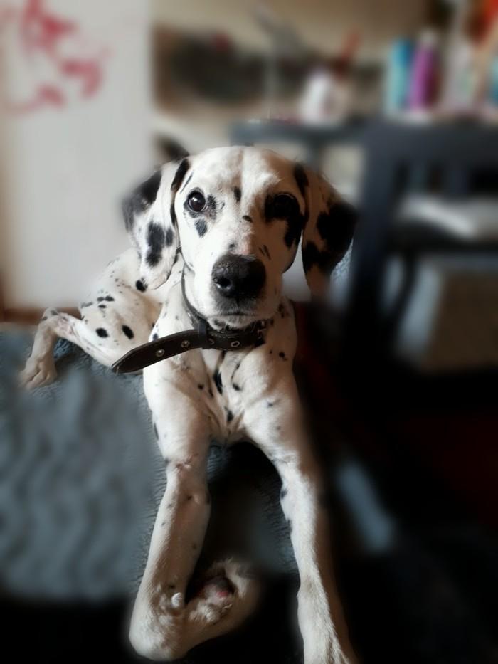 Найдена собака! Породистая далматинка, возраст около 10 лет [Хозяева найдены] Найдена собака, Длиннопост, Брянск, Ищу хозяина, Собака, Без рейтинга, Далматин, Животные