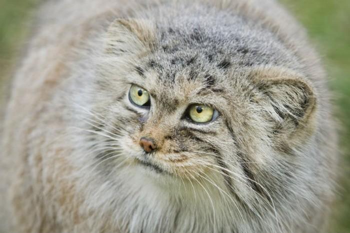 Палласов кот или карликовые ушки Длиннопост, Манул, Кот, Забайкалье, Погладь кота