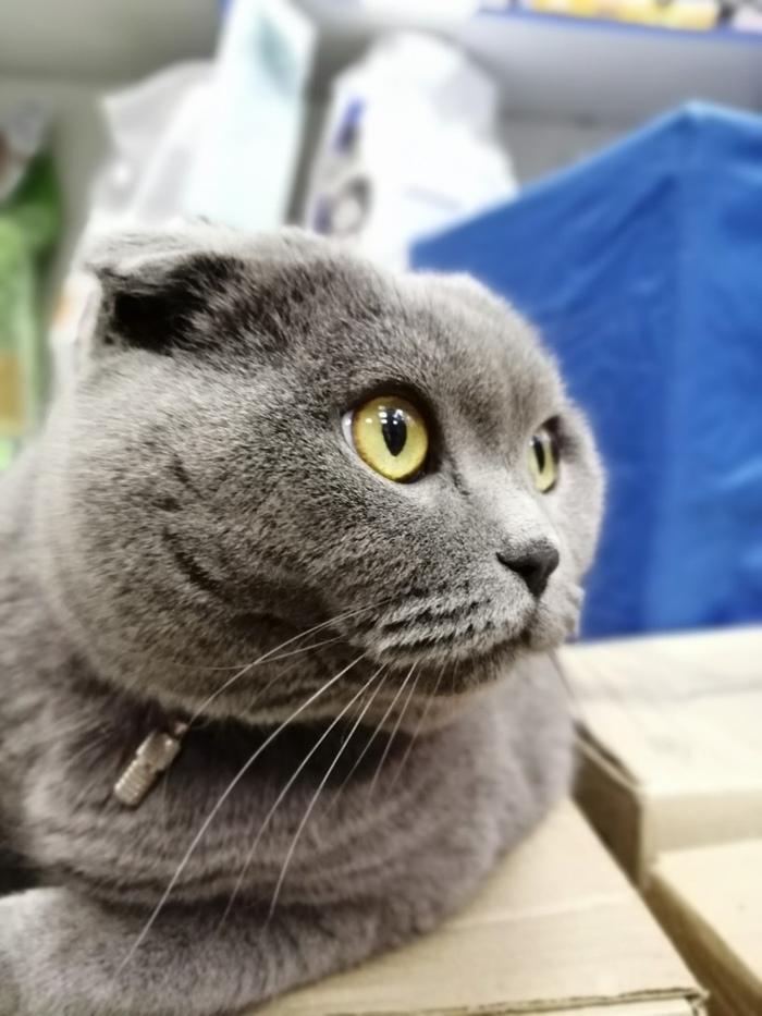 Порода не гарантия дома. Вислоухая кошечка с паспортом ищет дом [кошку забирают]. Кот, В добрые руки, Помощь, Волонтеры, Санкт-Петербург, Фотография, Длиннопост, Без рейтинга