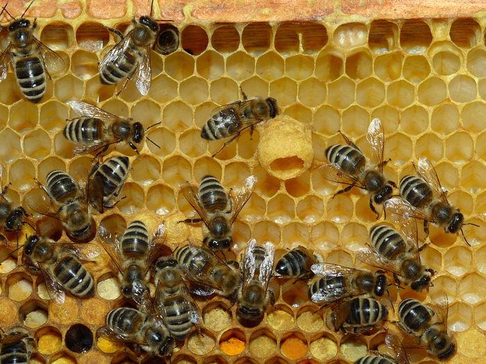 Как еда определяет судьбу пчелы: старение, иммунитет и социальная несправедливость Наука, Пчеловодство, Пчелы, Открытие, Длиннопост