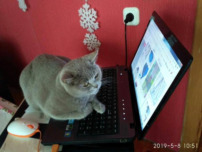 В интернете никто не знает, что ты - кот. Кот, Котомафия, Британский кот
