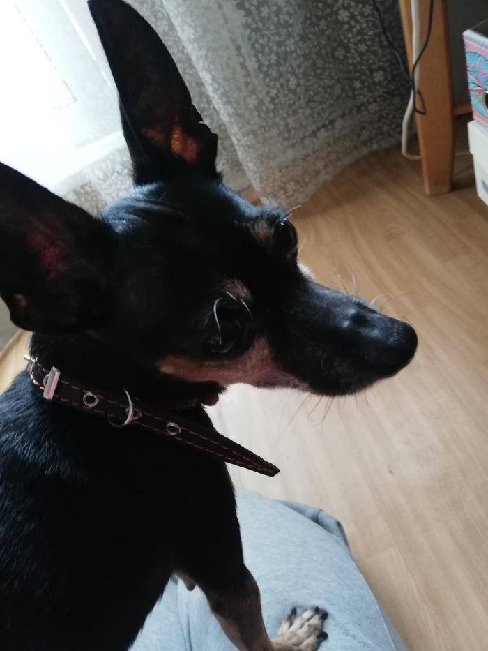 Найдена собака! Найдена собака, Той-Терьер, Москва, Новокосино, Срочно, Длиннопост, Собака, Без рейтинга