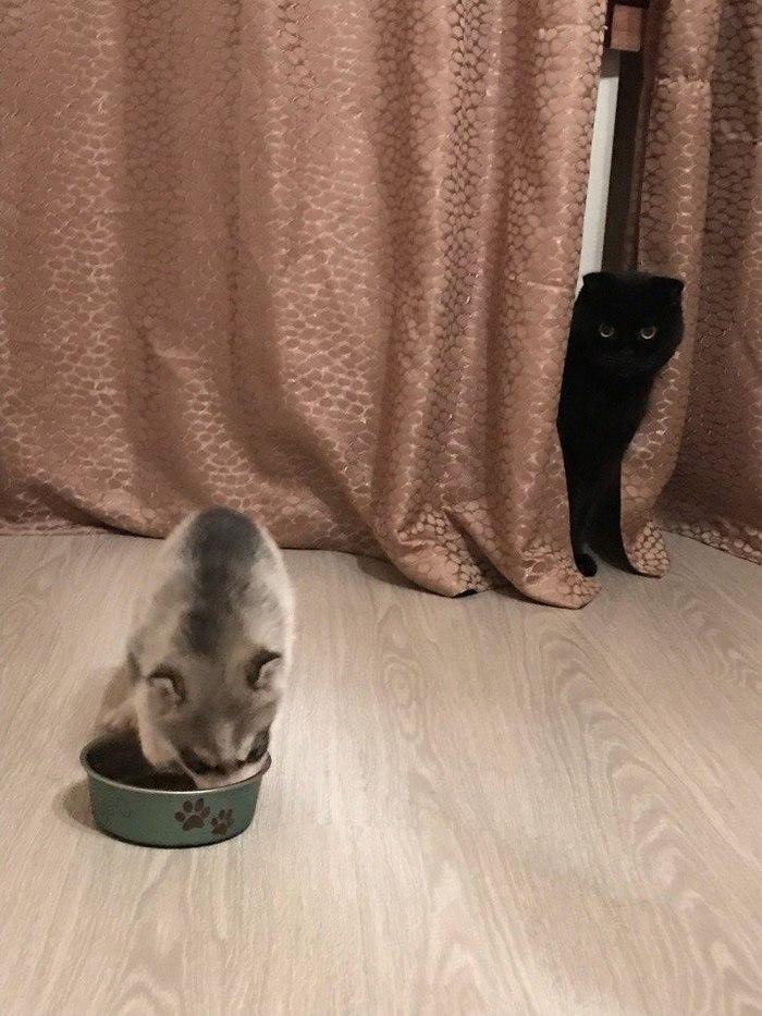 Слияние ума, хитрости и... кота Хаски, Собака, Животные, Кот, Длиннопост